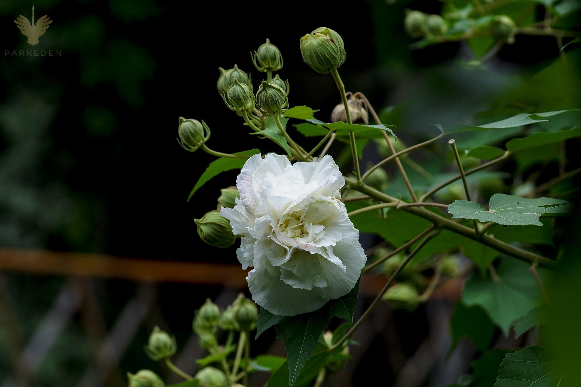 Hoa phù dung (Hibiscus Mutabilis L)