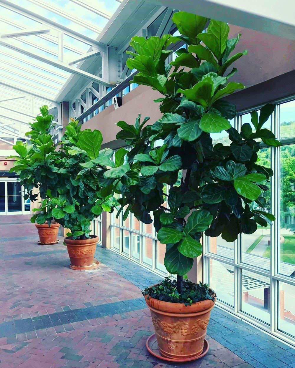 Cây sung phát tài (Ficus Lyata)