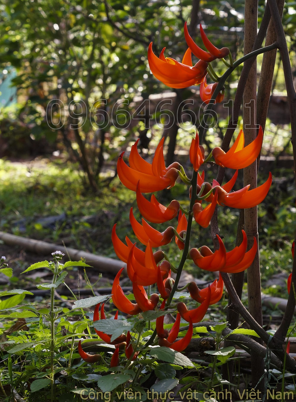 Hoa ngọc bích đỏ (red jade vine)