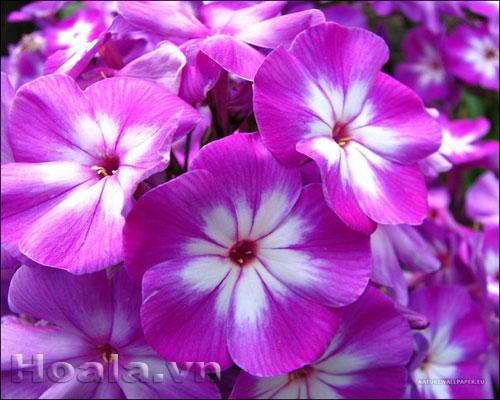 Hoa Phlox rực rỡ đón xuân về