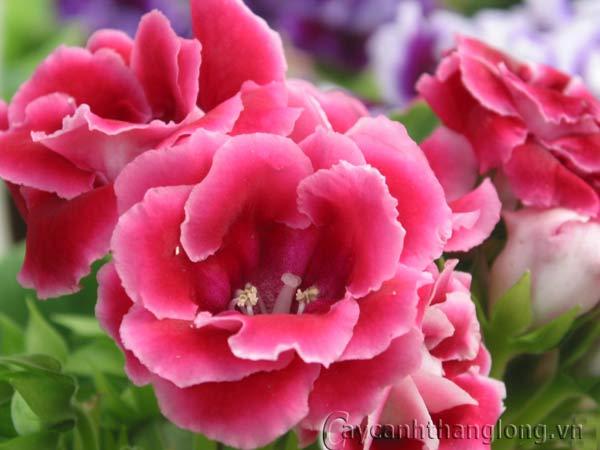 Cách trồng và chăm sóc hoa chuông tình yêu | hoala.vn