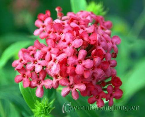Hoa Cúc nữ hoàng