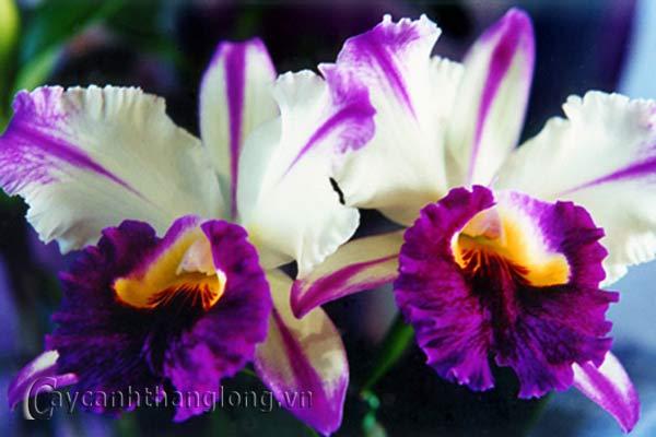 Hoa lan Cattleya ( lan nữ hoàng, cát lan )