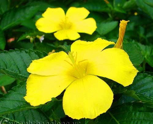 Hoa Dừa vàng