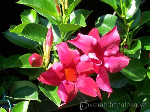 Hoa Hồng Anh , hoa leo đẹp
