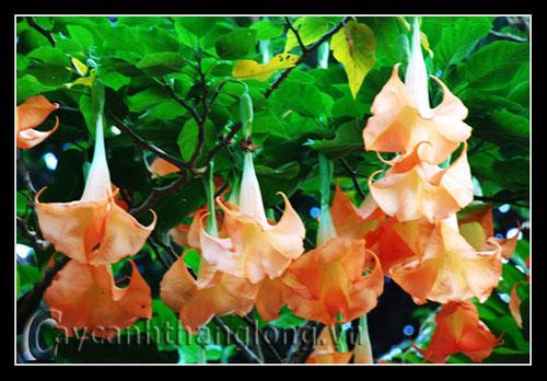 Hoa chuông Tây Bắc