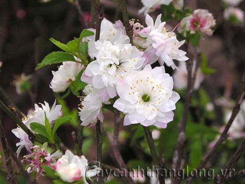 Cây hoa Chi mai