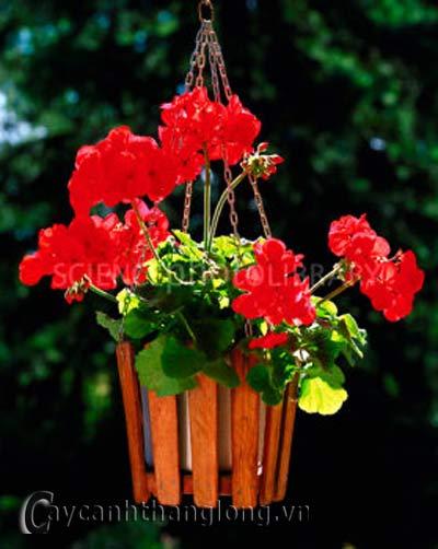 Hoa Phong lữ thảo - phong lữ thảo đứng
