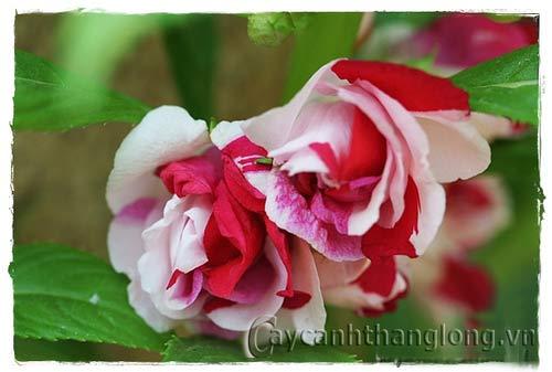 Cây hoa Bóng Nước