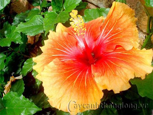 Các loại hoa Dâm bụt (đơn, kép, các màu)