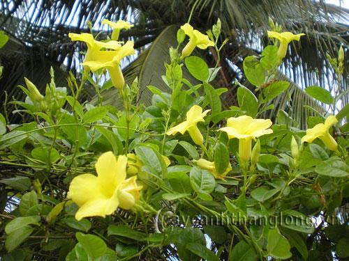 Hoa Hoàng thảo