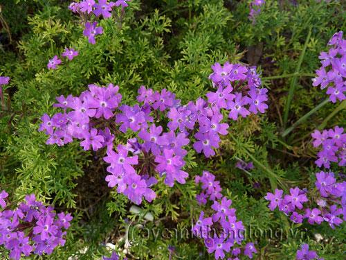 Cây hoa Cúc Thái