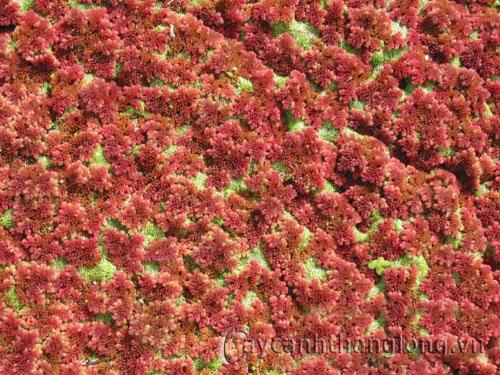 Cây Bèo hoa dâu