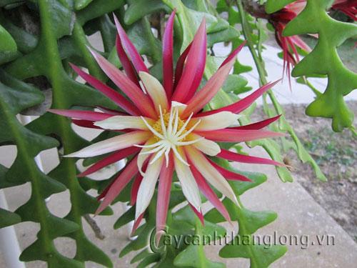 Hoa Quỳnh đỏ Mexico