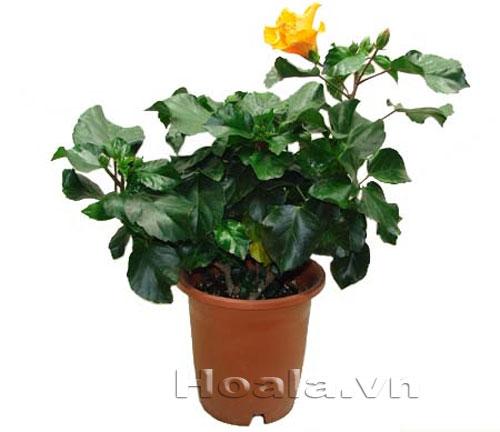 Hoa Dâm bụt lùn