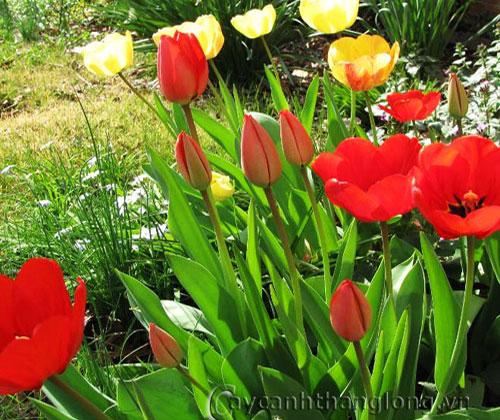 Hoa tulip - hoa tuy líp