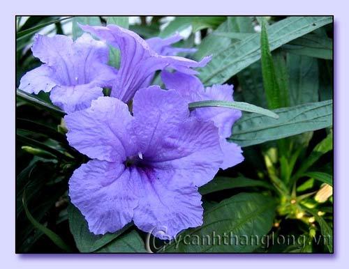 Hoa Dạ yến thảo mexico