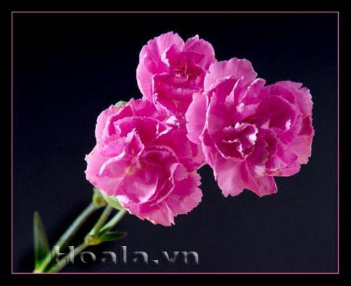 Bồn hoa 57