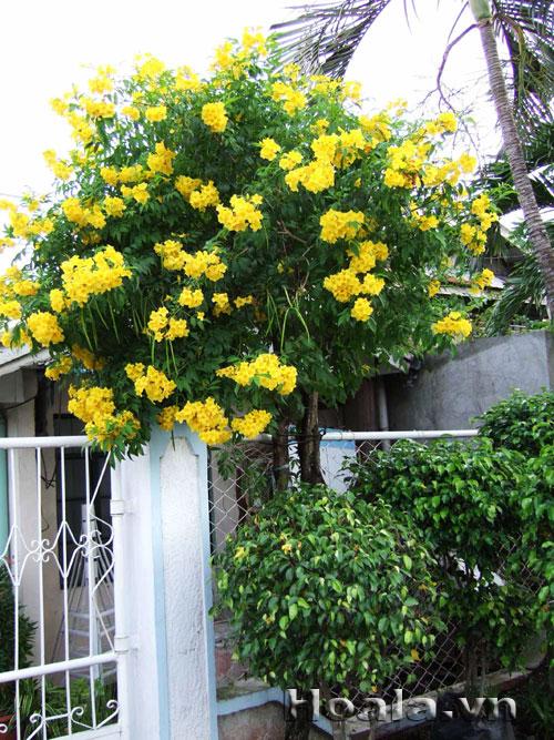 Cây Hoa Huỳnh liên