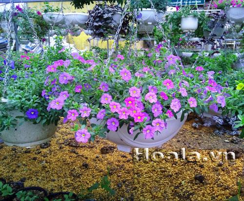 Hoa Million bells ( hoa triệu chuông)