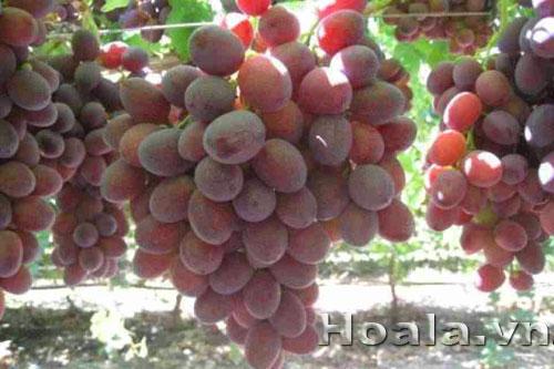 Cây Nho Mỹ quả đỏ