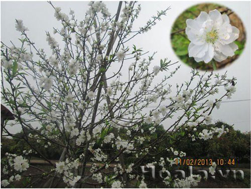 Hoa đào trắng quý hiếm