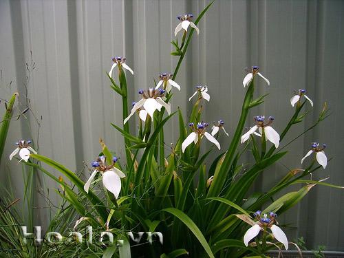 Hoa lan rẻ quạt