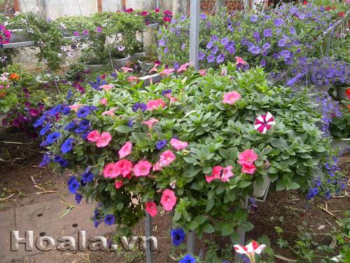 Hoa dạ yến thảo nhiều màu rực rỡ