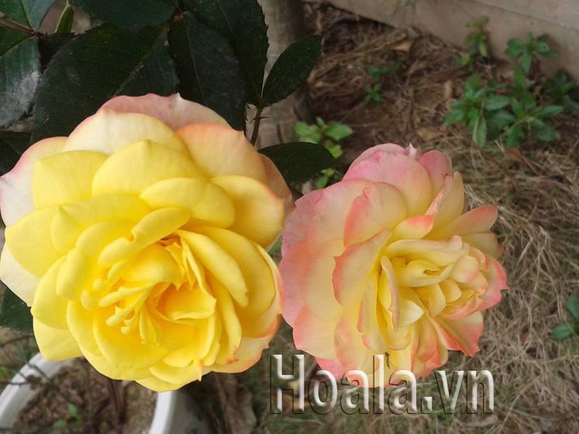 Hồng đổi màu (vàng, hồng, trắng)