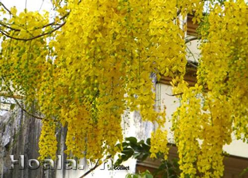 Hoa Osaka (muồng hoàng yến)