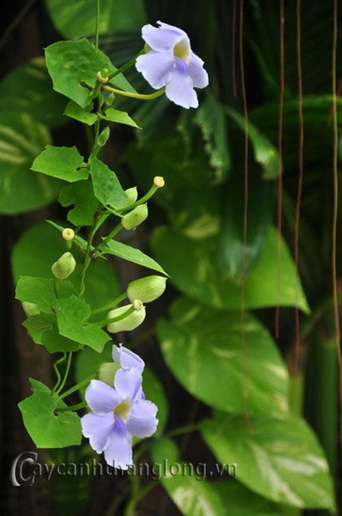 Hoa cát đằng - hoa bông xanh