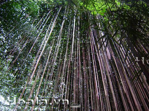 Dây tơ hồng thái ( cây liêm hồ đằng)