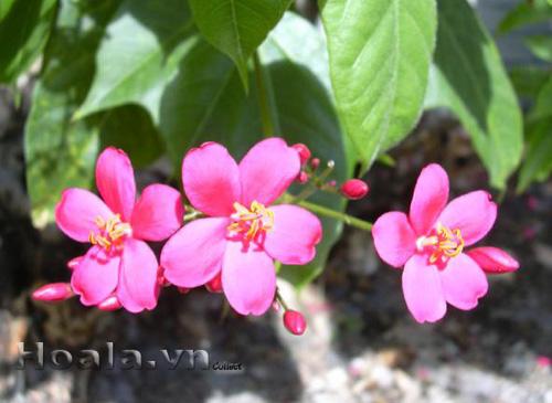 Hoa hồng mai