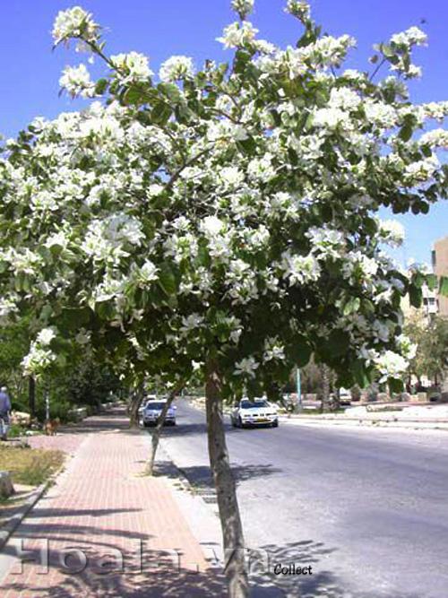 Hoa ban trắng Tây Bắc
