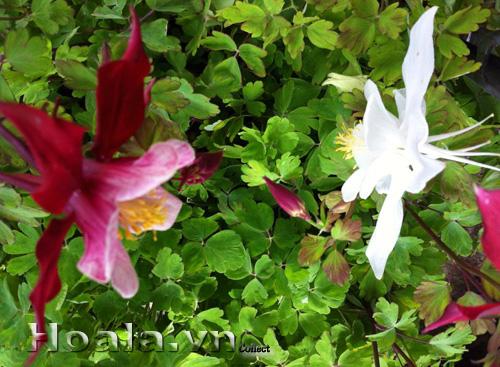 Hoa bồ câu