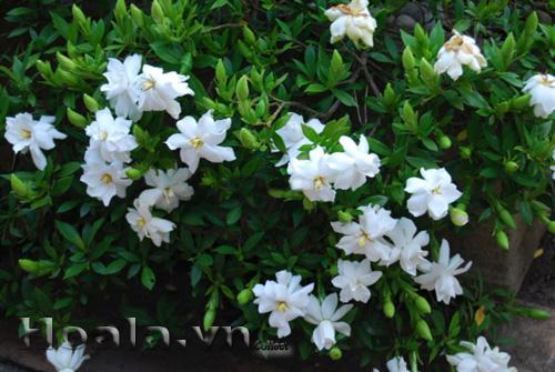 Hoa dành dành - bạch thiên hương thơm nồng nàn