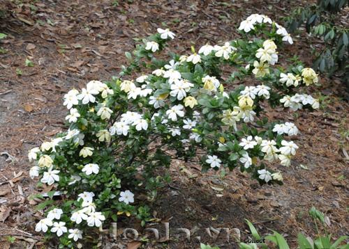 Hoa bạch thiên hương đơn
