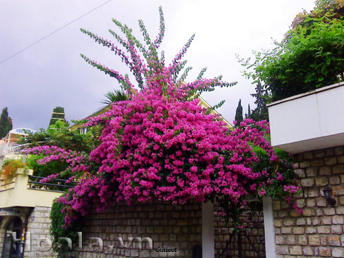 Hoa Giấy