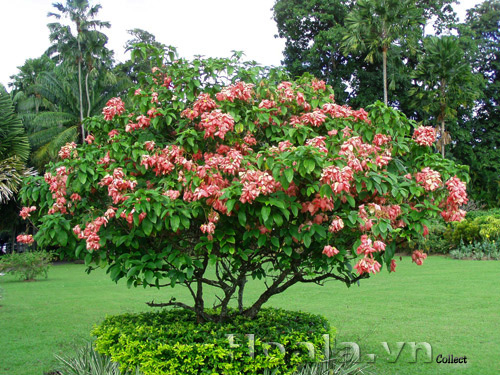 Hoa bướm hồng (én hồng)