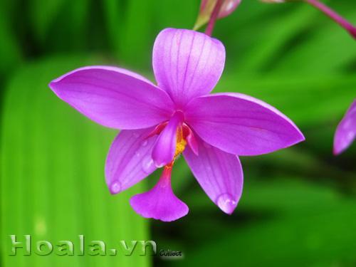 Hoa Chu đinh lan