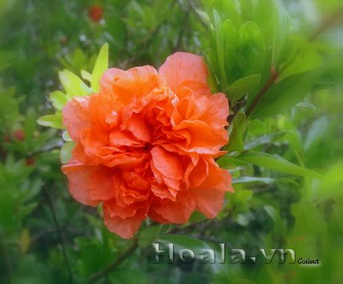 Hoa lựu hạnh