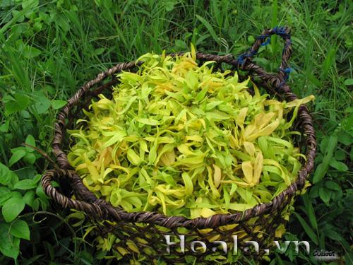 Cây Hoàng lan
