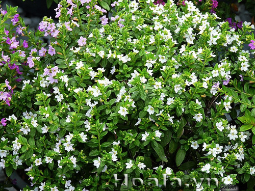 Hoa Cẩm tú mai