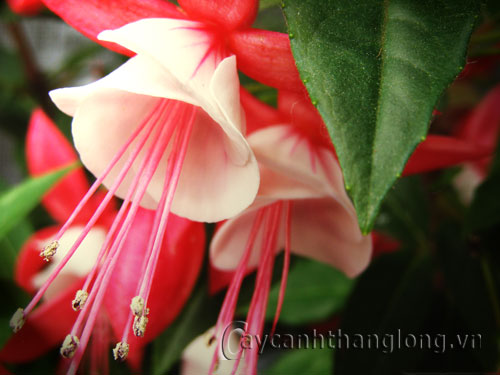 Hoa lồng đèn