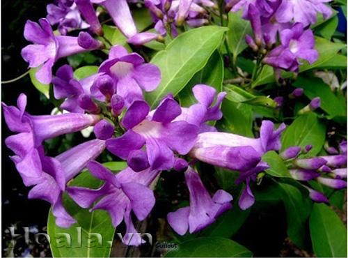 Hoa tỏi (Lý tím)