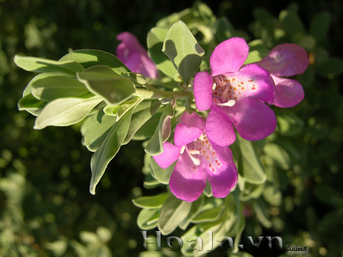 Cây hoa tuyết sơn phi hồng