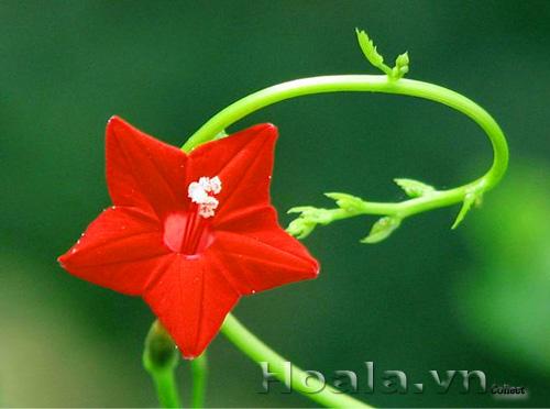 Hoa sao