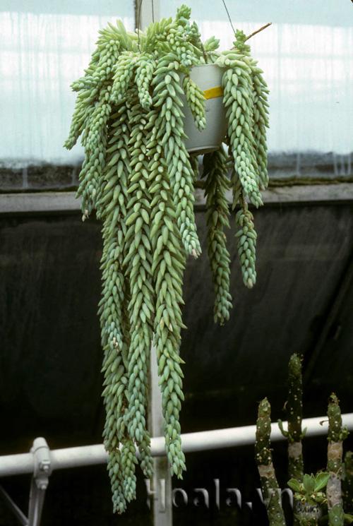 Hoa Sen đá chuỗi ngọc