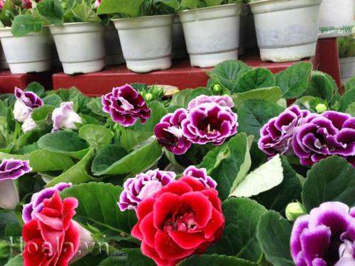 Hoa Tử La Lan ( hoa chuông tình yêu)