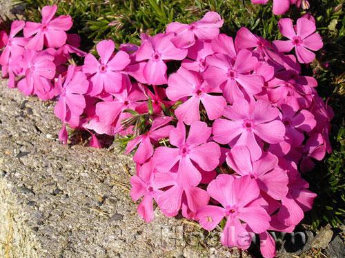 Hoa Phlox ( phờ lốc)